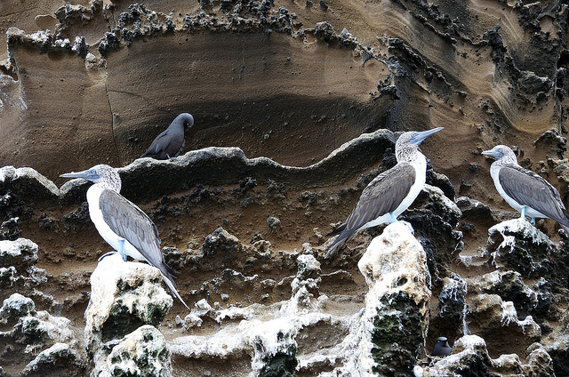 Blue-Footed Boobies on a cliff in the Galapagos Islands, 2013 by neydoll, used under a Creative Commons Attribution-NonCommerical-NoDerivs license.
